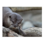 Adorable Otter Postcard
