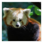 Adorable Red Panda Poster
