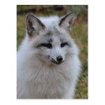 Adorable White Fox Postcard