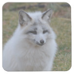 Adorable White Fox Square Paper Coaster