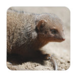 Amazing Dwarf Mongoose Drink Coaster