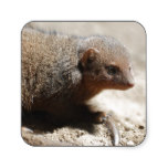 Amazing Dwarf Mongoose Square Sticker