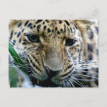 Amur Leopard  Postcards
