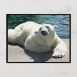 Arctic Polar Bear Postcard
