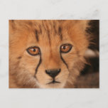 Baby Cheetah Postcard