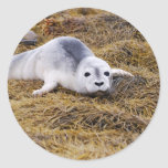 Baby Harbor Seal Stickers