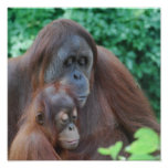 Baby Orangutan with Mother Poster