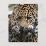 Bathing Leopard Postcard