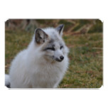 Beautiful White Swift Fox Card