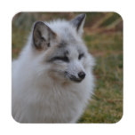 Beautiful White Swift Fox Coaster