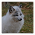 Beautiful White Swift Fox Poster