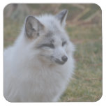 Beautiful White Swift Fox Square Paper Coaster