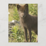 Black Fox Postcard