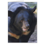 Black Spectacled Bear Card