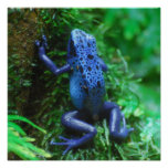 Blue Poison Arrow Frog Poster