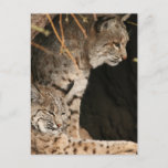 Bobcat Photos Postcard