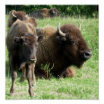 Buffalo Picture Poster Print
