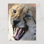 Cheetah Snarl Postcards