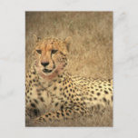 Cheetah Spots Postcard