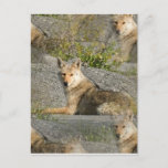 Coyote Images Postcard