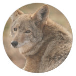 Coyote Plate