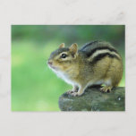 Curious Chipmunk  Postcard