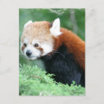 Curious Red Panda Postcard