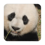Cute Giant Panda Bear Beverage Coaster