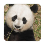 Cute Giant Panda Bear Drink Coaster