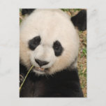Cute Giant Panda Bear Postcard