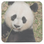 Cute Giant Panda Bear Square Paper Coaster