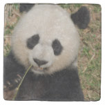 Cute Giant Panda Bear Stone Coaster