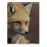 Cute Red Fox Postcard