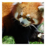 Cute Red Panda Bear Poster