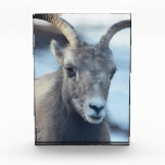 Face of a Bighorn Sheep Acrylic Award