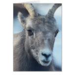 Face of a Bighorn Sheep Card