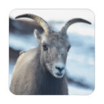 Face of a Bighorn Sheep Drink Coaster
