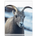 Face of a Bighorn Sheep Plaque