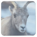 Face of a Bighorn Sheep Square Paper Coaster