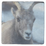 Face of a Bighorn Sheep Stone Coaster