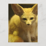Fennec Fox  Postcard