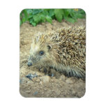 Hedgehog Care  Premium Magnet