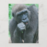 Hungry Gorilla Postcard