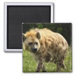 Hyena Square Magnet