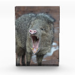 Javalina With his Mouth Wide Open Acrylic Award