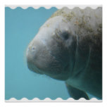 Large Manatee Underwater Poster