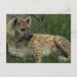 Laughing Hyenas Postcard
