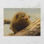 Mongoose a Tree Branch Postcard