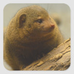 Mongoose a Tree Branch Square Sticker