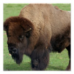 North American Bison Print